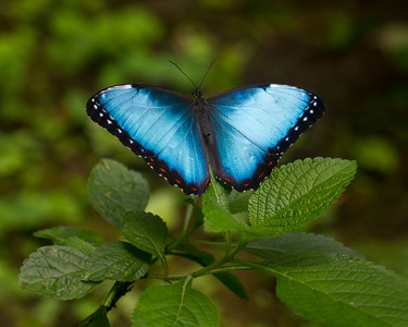 BlueMorphoButterfly_16Mar2012_2651_Captive