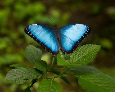 BlueMorphoButterfly_16Mar2012_2651_Captive