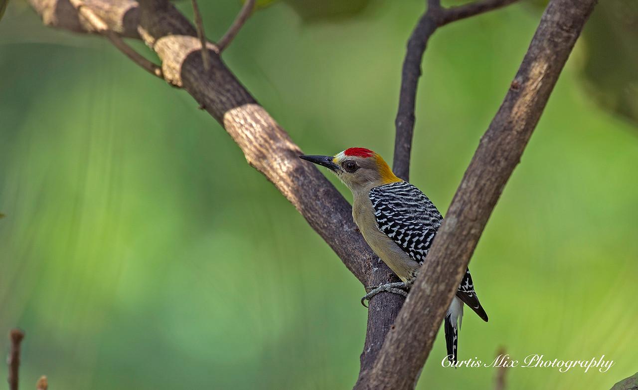 Hoffmans woodpecker.