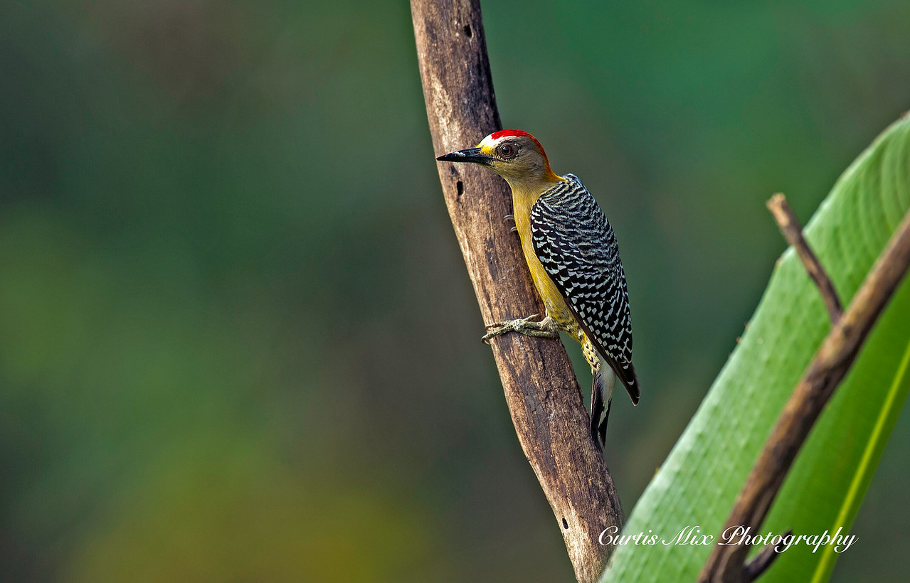Hoffman's Woodpecker.