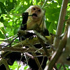 White-headed Capuchin (Cebus capucinus) a.k.a. White-faced Capuchin or White-throated<br /> Capuchin