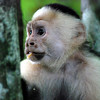 White-faced monkey at Manuel Antonio NP, Costa Rica
