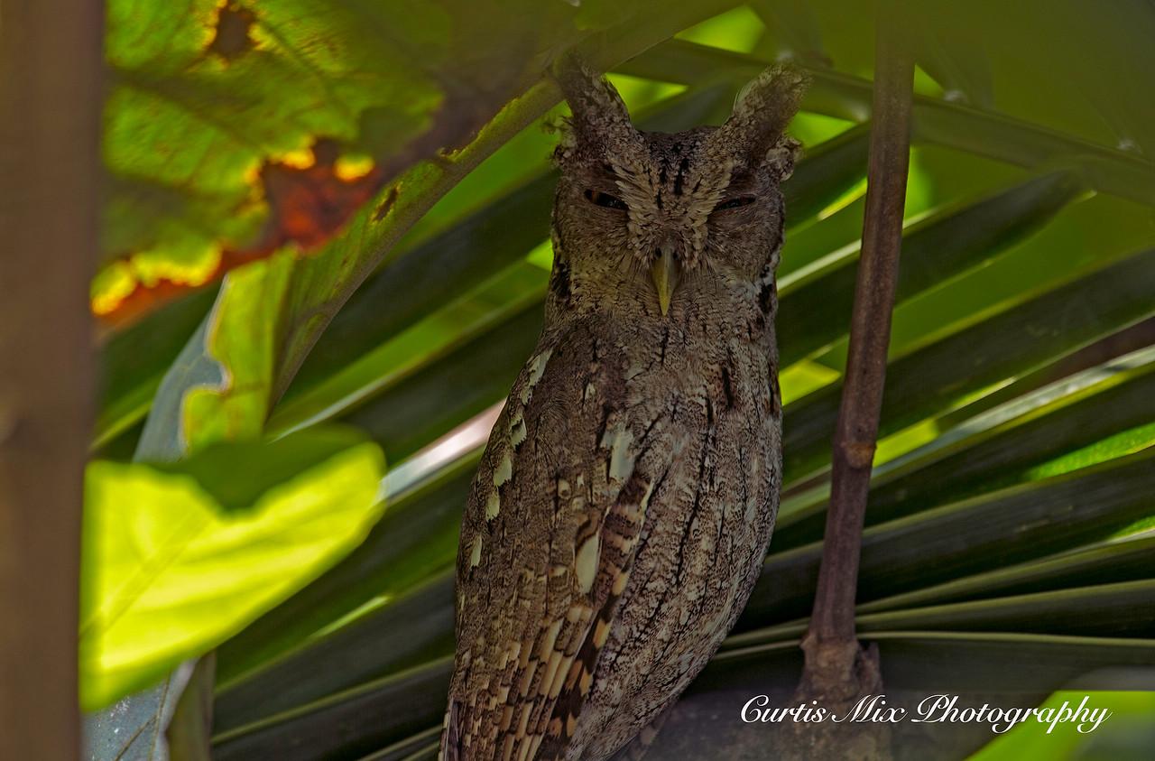 Tropical Screech Owl.
