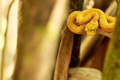 Eye lash viper - small but poisonous.