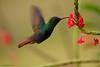 Amazilia rabirrufa (<em>Amazilia  tzacatl </span></em>) / Rufous-tailed hummingbird