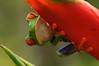 Ranita de ojos rojos sobre heliconia (<em>Agalychnis callidryas </span></em> )/ Red-eyed tree frog