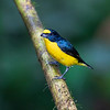 Yellow-throated Euphonia (male)