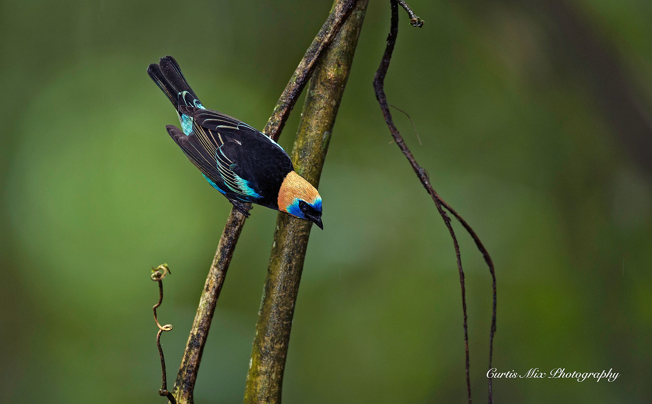 Golden-hooded Tanager.
