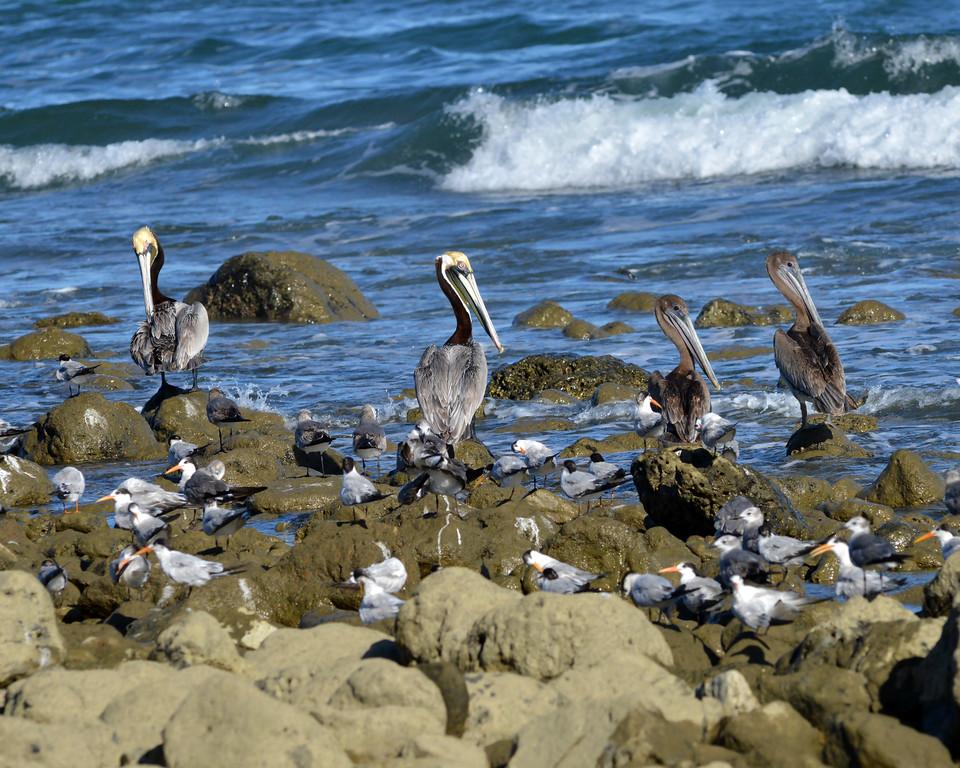 Pelicans, Montezuma Beach