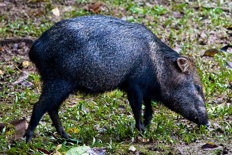 Collared Peccary (Pecari tajacu) a.k.a. Mexican Hog or Javelina