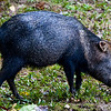 Collared Peccary (Pecari tajacu) a.k.a. Mexican Hog or Javelina