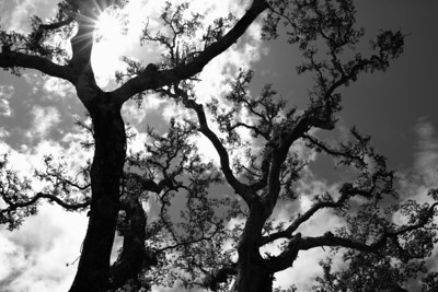 Backlit guanacaste tree