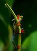 Green Tree Frog, Costa Rica