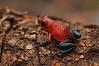 Ranita dardo (<em>Dendrobates pumilio </span></em>)/ Blue jeans frog