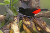 Palm and Passerini's Tanagers