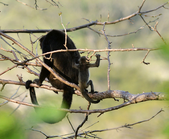 Howler monkey with child