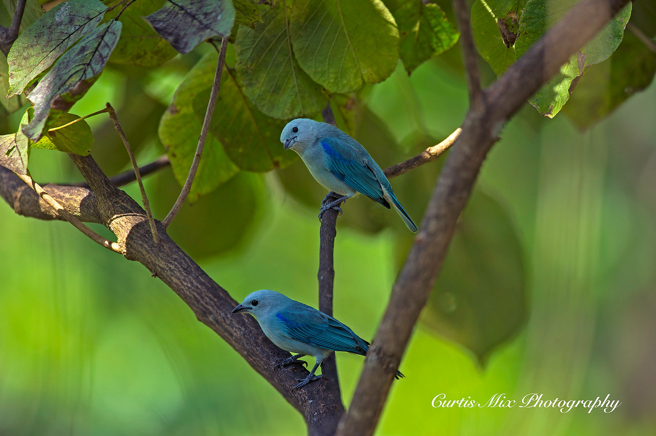 Blue-gray Tanagers.