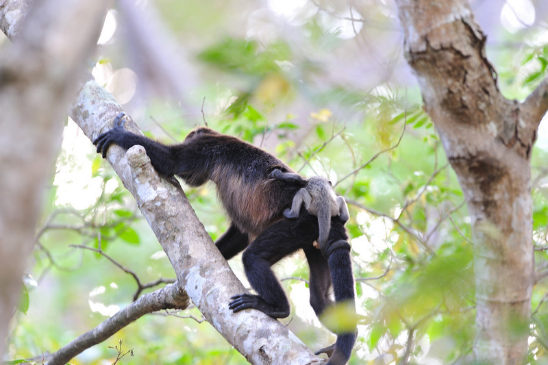 Howler monkey mom and baby