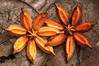 <em>Clusia stenophylla </span></em> fruits / Frutos de azahar de monte