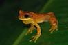 <em> Dendropsophus ebraccatus </span></em> (Hourglass treefrog)