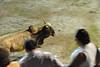 bullfight coming close