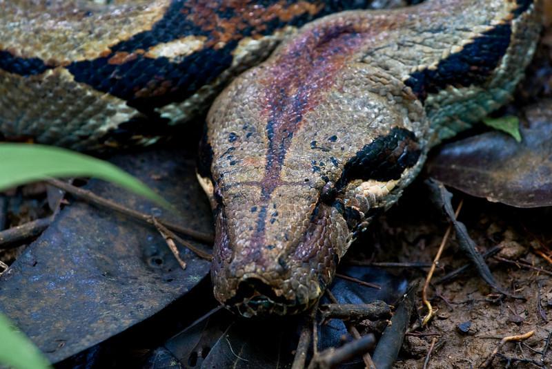 Boa Constrictor (Unidentified subspecies)