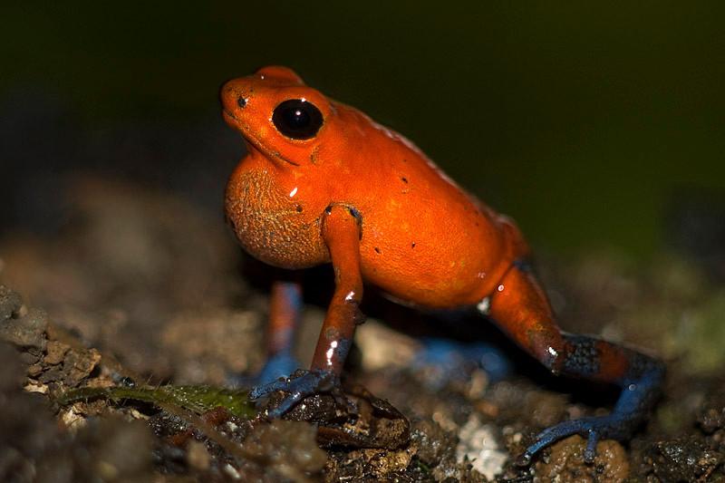 Ranita dardo (<em>Dendrobates pumilio</span></em>) / Blue jeans frog