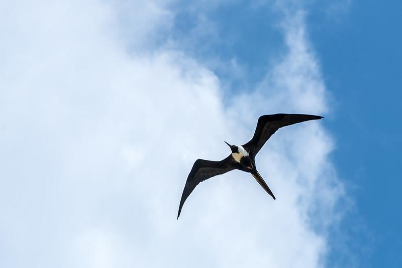 Magnificent Frigatebird Overhead