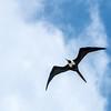 A sign of future events - magnificent frigatebird overhead