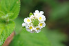 Monte Verde white flower