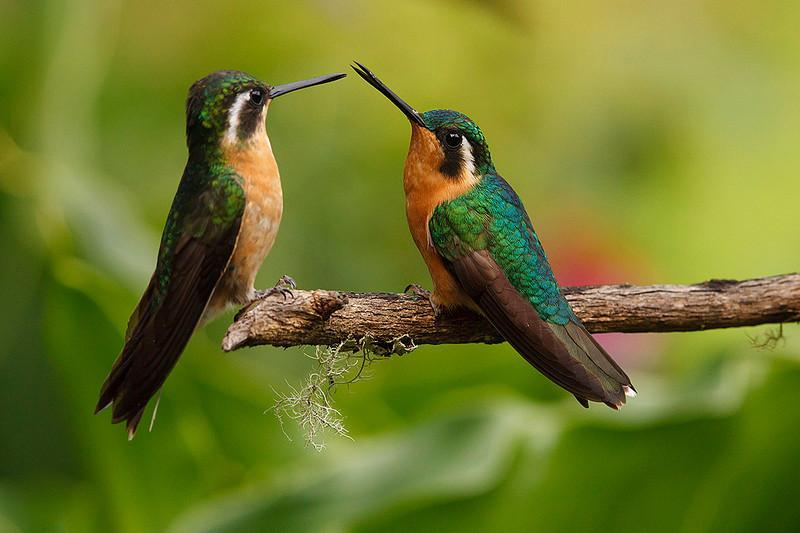 Hembras de Colibrí Montañés coligris  (<em>Lampornis castaneoventris</span></em>)