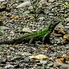 Spiny-tailed Iguana (Ctenosaura similis)