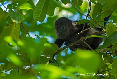 Baby Howler Monkey.
