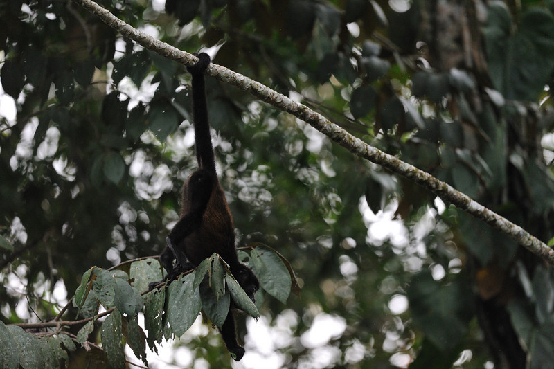 howler monkey hanging