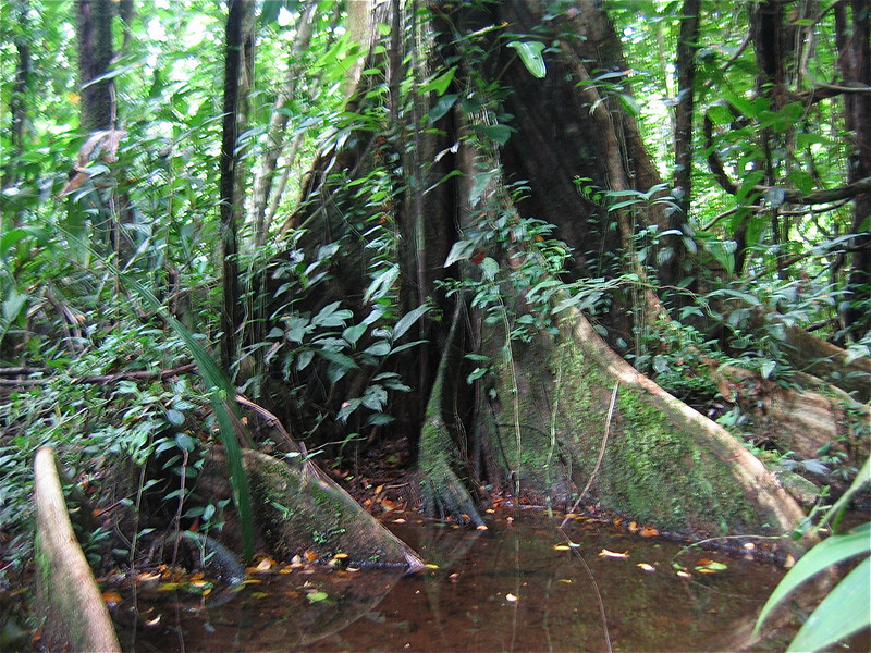 De wortels van de Tortuguero jungle. Costa Rica.