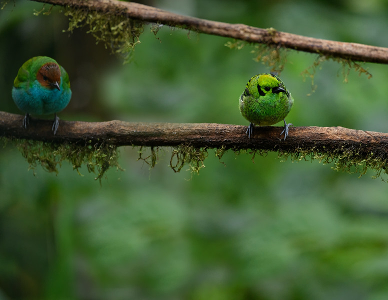 Bay-headed Tanager, Emerald Tanager