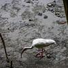 White Ibis (Eudocimus albus) 3