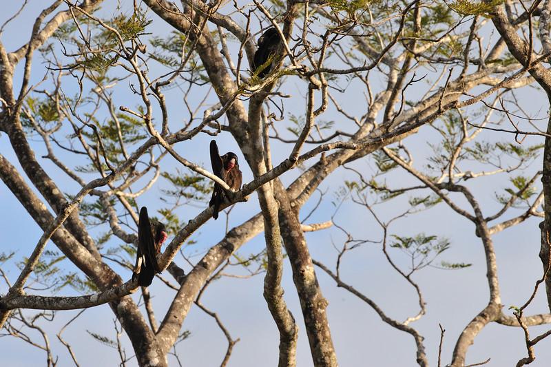 vultures preening