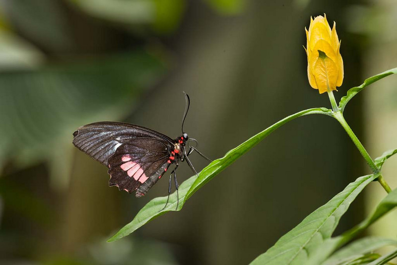 Heliconius Butterfly, Costa Rica