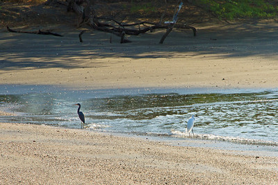 A little blue heron and a snowy egret