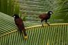 Oropéndolas de Montezuma (<em>Psarocolius montezuma</span></em>) sobre cocotero