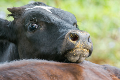 Cow with Chin Rest