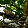 Spiny-tailed Iguana (Ctenosaura similis) 4
