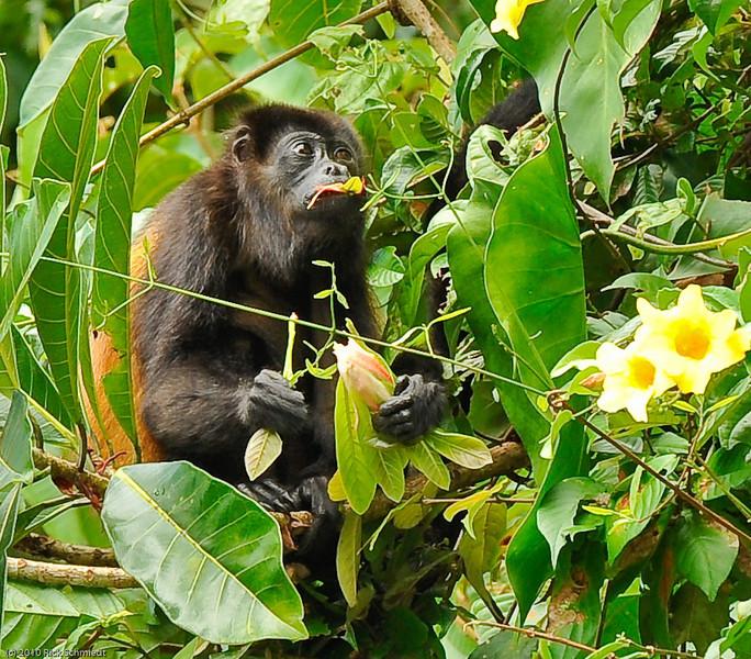 Howler monkey -- Tortuguerra