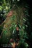 Butress Helps Anchor Tree, Rain Forest Vegetation, Lake Coter Eco Lodge, Private Biological Reserve, Northern Pacific Mountains, Arenal Lake Region, Costa Rica, Central America