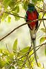 Quetzal (<em>Pharomachrus mocinno </span></em> ) / Resplendent quetzal