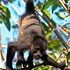 Mantled Howler (Alouatta palliata) or Golden-mantled Howling Monkey