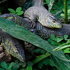 Unidentified Lizards