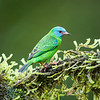 Blue Dacnis (female)
