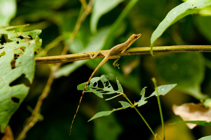 Unidentified Anole